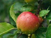 Причины есть яблоко каждый день